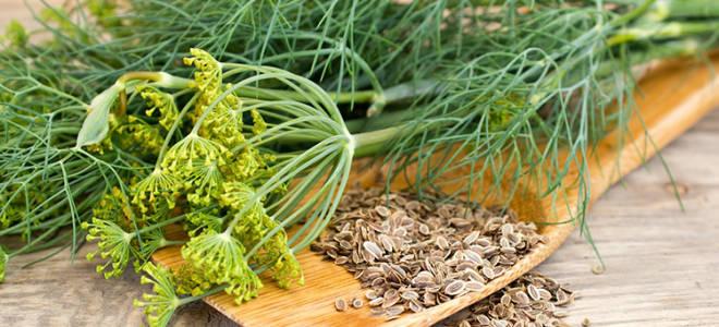 Лечебные свойства и противопоказания семян огородного укропа